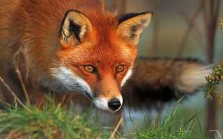 Приметы про лису