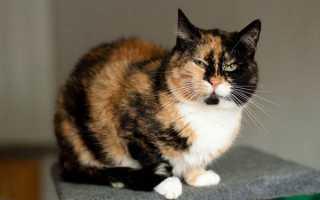Приметы: трехцветная кошка в доме