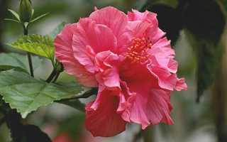 Приметы о китайской розе в доме