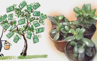 Приметы о денежном дереве для привлечения достатка