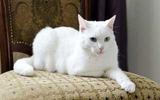 Белая кошка в доме – толкование приметы
