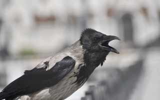 Приметы и поверья о каркающих воронах