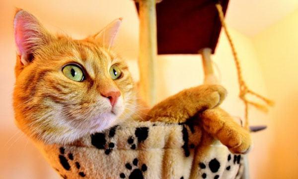 Рыжий кот в доме на лежанке