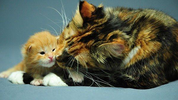 Трехцветная кошка с котенком