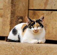 Трехшерстная кошка лежит на дороге