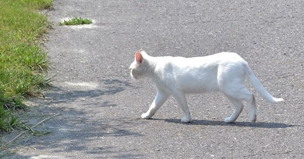 Белая кошка перебегает дорогу