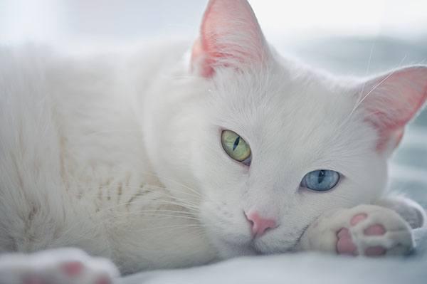Белая кошка с разынми глазами