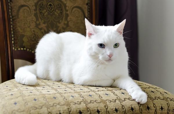 Белая кошка лежит на стуле
