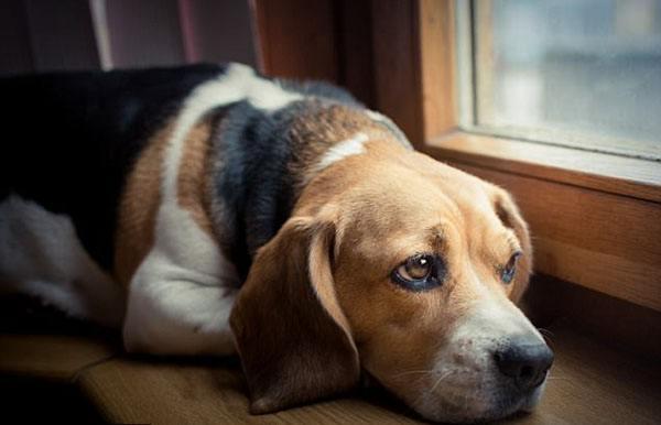 Грустный пес лежит у окна