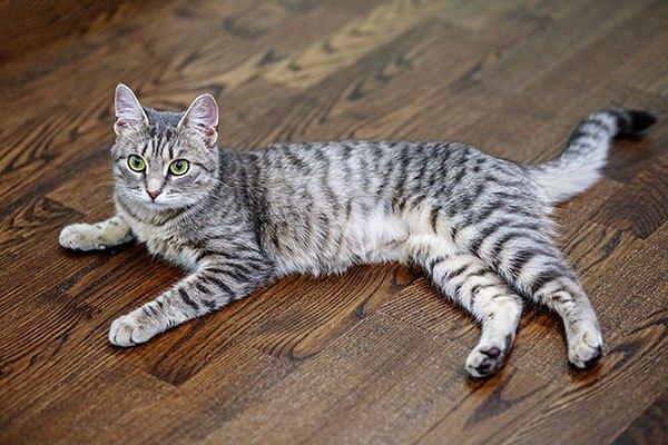Полосатый серый кот на полу