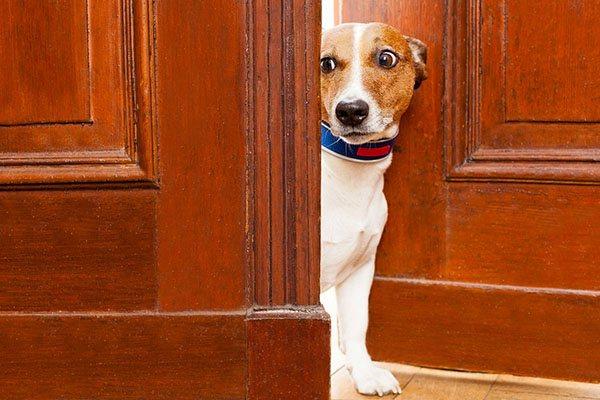 Собака заглядывает в дом