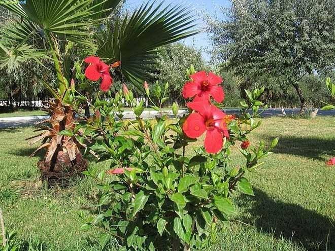 Китайская роза в тропической стране