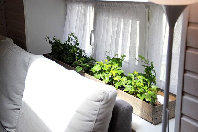 Плющ в квартире