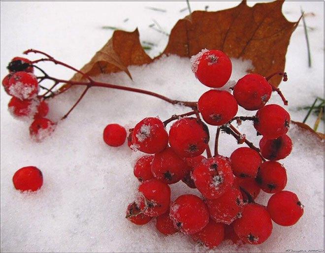 Ягоды рябины на снегу
