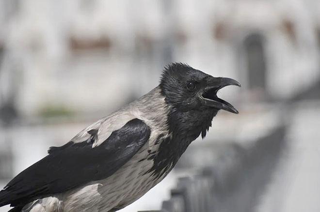 Каркающая ворона