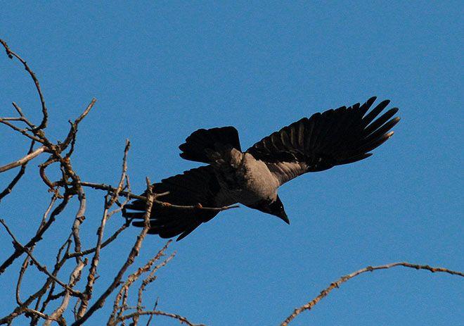 Ворона кружит в небе
