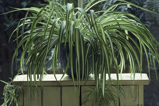 Хлорофитум со множеством свисающих листьев